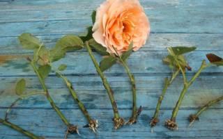 Как вырастить розу из черенка: разные способы и секреты
