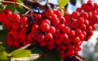 Заготовки из рябины – чем удивит красная ягода?