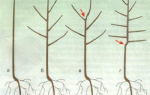 Выращивание саженцев плодовых деревьев