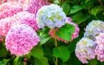 Чем поливать гортензию для цвета