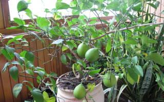 Как формировать лимонное дерево?