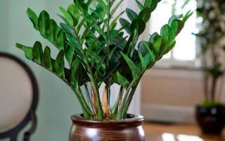 Как ухаживать в домашних условиях за цветком замиокулькас