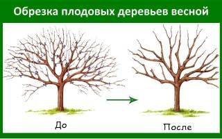 Обрезка саженцев плодовых деревьев