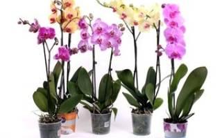 Чем отличается фаленопсис от орхидеи