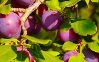 Подкормка сливы осенью – какие составы лучше использовать