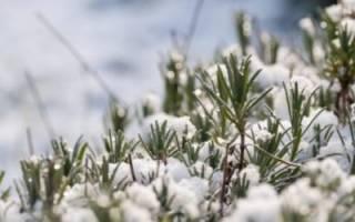 Подготовка лаванды к зиме в средней полосе