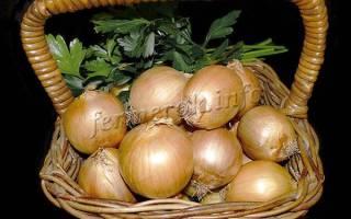 Лук Центурион – образцовый сорт для кулинарии