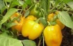 Выращивание перцев в теплице в Сибири