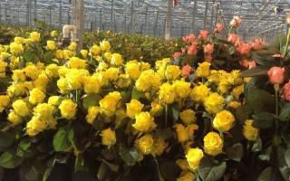 Производители роз в России