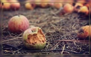 Что делать с гнилыми яблоками на даче?