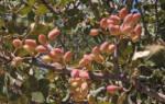 Как посадить фисташковое дерево?