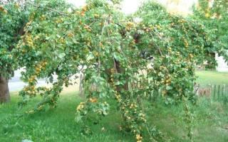 Уход за абрикосами в средней полосе