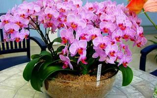 Как подкормить орхидею в домашних условиях