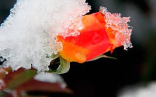 Как приготовить розы к зимовке на даче?