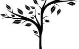 Секвойя выращивание в России