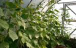 Подвязка огурцов в теплице – изучаем методики