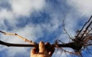 Как высаживать саженцы винограда?