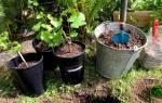Посадка молодых саженцев плодовых деревьев
