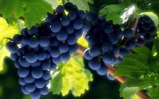 Как подготовить виноград к зиме – советы виноградарей