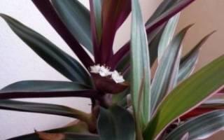 Комнатный цветок рио