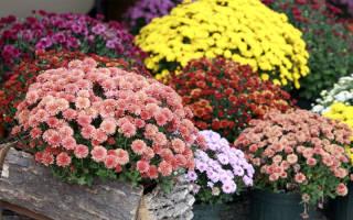 Как сохранить саженцы хризантемы до весны?