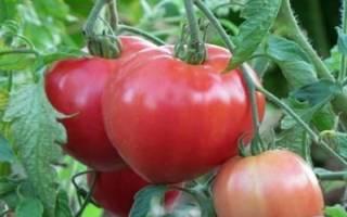 Урожайные сорта томатов для теплиц в Сибири
