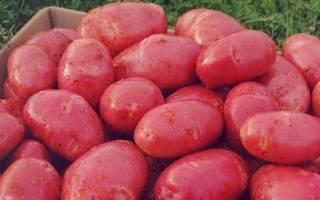 Описание сорта Ред Скарлет картофель