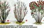 Обрезка роз на зиму – инструкция для начинающих