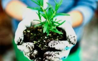 Как посадить розмарин на даче?