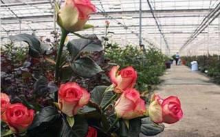 Саженцы роз для теплиц на срезку