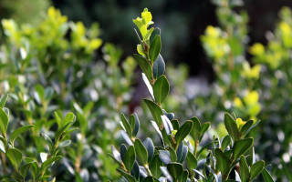 Что такое самшитовое дерево?