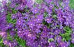 Посадка клематисов весной – нужно знать места!