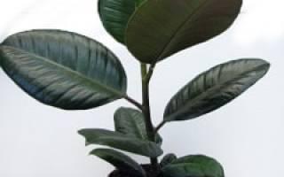 Болезни листьев фикус