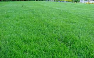 Посадка газона на даче – искусство создания зеленого ковра