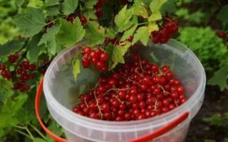 Подкормка черной смородины осенью – восполняем запасы