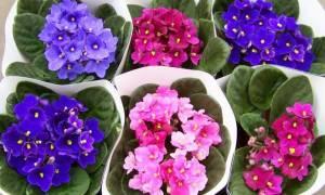 Цветы фиалка комнатная уход полив какие удобрения