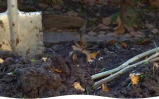 Как осенью прикопать саженцы на зиму?