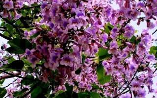 Что такое адамово дерево?