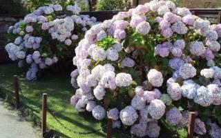 Сколько цветет гортензия в саду