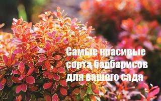 Барбарис для средней полосы России