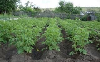 Как выращивать картофель на даче?