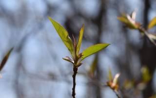Уход за саженцами плодовых деревьев осенью