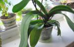 После пересадки не цветет орхидея почему