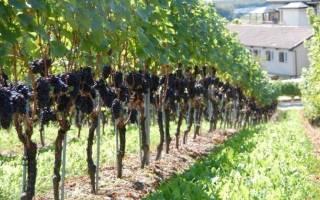 Правильная обрезка винограда или как вырастить сочные грозди?
