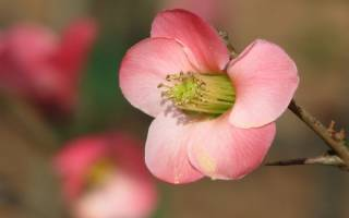 Как вырастить айву из семян на даче?