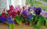 Можно ли пересаживать цветущую глоксинию