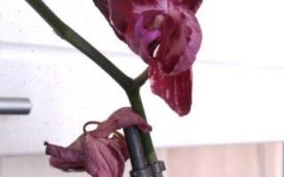 Как пересадить орхидею в домашних после цветения