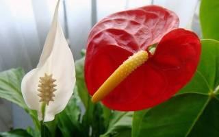 Мужской цветок антуриум как ухаживать