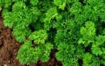 Выращивание петрушки в открытом грунте – огородные пряности!