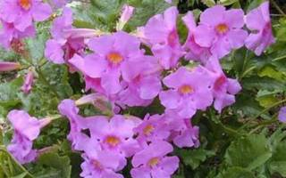 Инкарвиллея садовая глоксиния